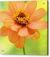 Zinnia On A Brilliant Spring Day Acrylic Print