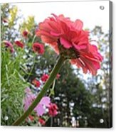 Zinnia Side View Acrylic Print