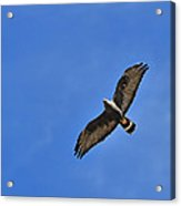 Zone-tailed Hawk Acrylic Print