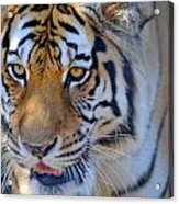 Zootography3 Tiger Prowl Close-up Acrylic Print