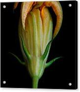 Zucchini Jester Acrylic Print