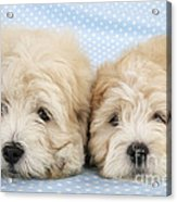Zuchon Teddy Bear Dogs, Lying Acrylic Print