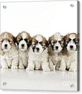 Zuchon Teddy Bear Puppy Dogs Acrylic Print