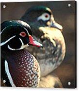 A Couple Of Wood Ducks Acrylic Print