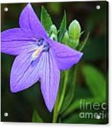 August Balloon Flower Acrylic Print