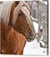 Belgian Horse Lord Acrylic Print