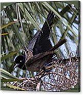 Boat-tailed Grackle - Quiscalus Major Acrylic Print