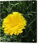 Buttery Single Yellow Flower Acrylic Print