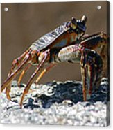 Crab On Rock Acrylic Print