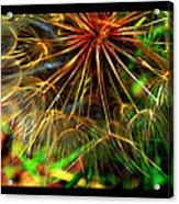 Dandelion Dreamtime Acrylic Print