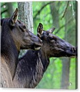 Elk In The Forest  Acrylic Print