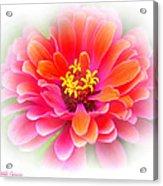 Flower On White Acrylic Print