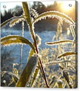 Frost On Willow At Sunrise Acrylic Print