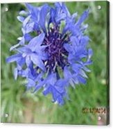 Lovely Purple Close-up Acrylic Print