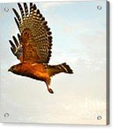 Majestic Red Shoulder Hawk Acrylic Print