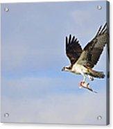 Osprey Lunch To Go II Acrylic Print