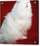 Persian Cat In Distress Acrylic Print