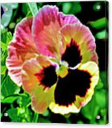 Pink And Yellow Pansy Acrylic Print