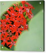 Red Butterfly Buds By Jammer Acrylic Print