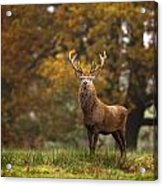 Red Deer Acrylic Print