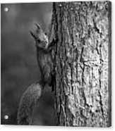 Red Squirrel In Bw Acrylic Print