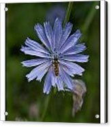 Spring Flower And Hoverfly Acrylic Print