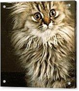 Startled Persian Kitten Acrylic Print