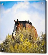 Wild Horse In The Sage Acrylic Print