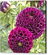 Wow Pink Dahlia Orbs Acrylic Print