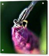 0002 Dragonfly On A Salvia Burgundy Candle Acrylic Print
