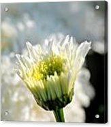 0002 Leucanthemum Cog Hill Awakening  Acrylic Print