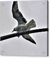 001 Gull To Out Do Wallenda Acrylic Print