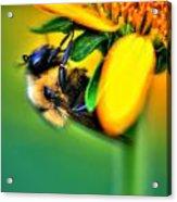 001 Sleeping Bee Acrylic Print