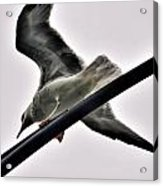 002 Gull To Out Do Wallenda Acrylic Print