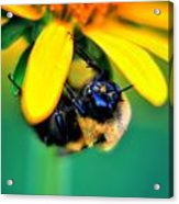 003 Sleeping Bee Series Acrylic Print