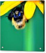 004 Sleeping Bee Series Acrylic Print