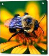 005 Sleeping Bee Series Acrylic Print