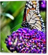 012 Making Things New Via The Butterfly Series Acrylic Print