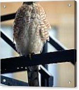 03 Falcon Acrylic Print
