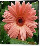04-19-09 Gerbera Daisy Acrylic Print