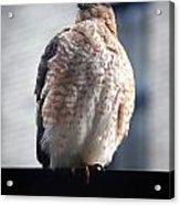 04 Falcon Acrylic Print