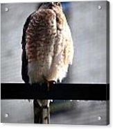 05 Falcon Acrylic Print