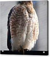 06 Falcon Acrylic Print
