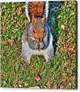 06 Grey Squirrel Sciurus Carolinensis Series Acrylic Print
