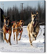 2011 Limited North American Sled Dog Race Acrylic Print