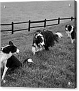 3 Collies Acrylic Print by Miguel Capelo