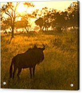 A Backlit Wildebeest Resting Acrylic Print