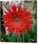 A Beautiful Red Flower Growing At Home Acrylic Print