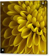 A Bouquet Of Button Chrysanthemums Acrylic Print