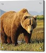 A Brown Grizzly Bear Ursus Arctos Acrylic Print